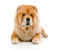Chow-Chow royalty free stock photos