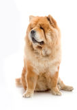 Chow-Chow Stock Image