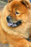 Chow Chow. Portrait of Chow chow dog lying in the shade looking off to its right Royalty Free Stock Image