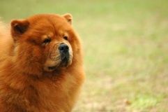 Chow-chow stock foto's