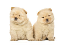 Chow-chow κουτάβια Στοκ εικόνα με δικαίωμα ελεύθερης χρήσης