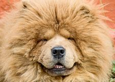 Chow-chow 3 Royalty Free Stock Photography
