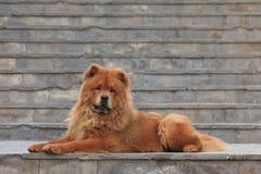 Собака Chow Chow Стоковые Изображения RF