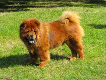 Chow Chow Stock Foto