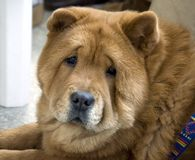 chow-chow Royalty-vrije Stock Afbeelding