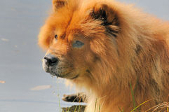 Chow-chow Stock Photography