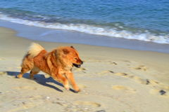 Chow chow on the beach stock image