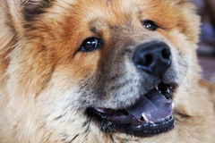 Chow-chow Royalty Free Stock Images