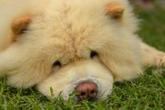 Chow Chow the best dog stock illustration
