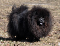 Chow Chow black Royalty Free Stock Images