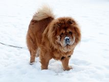 Chow chow breed dog. Winter, snow and brown dog chow chow Stock Photos