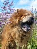 Chow-chow de bocejo do cão Fotografia de Stock