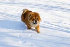Chow-chow in de winter Stock Afbeeldingen