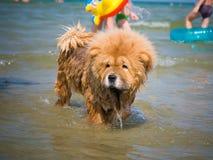 Chow-chow del perro Fotografía de archivo