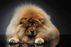 Chow-chow di Beautyful che guarda giù in uno studio scuro fotografie stock libere da diritti