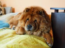 Chow chow dog. The chow chow dog at the home Stock Photography