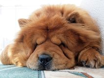 Chow chow dog. Brown chow chow dog sleeping at the home Royalty Free Stock Image