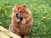 Chow chow dog. Summer time Royalty Free Stock Image
