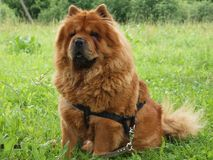 Chow - chow dog. Animals life. Brown chow - chow dog Royalty Free Stock Photography