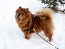 Chow chow dog. Winter, snow and brown dog chow chow Stock Image