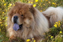Chow chow dog Royalty Free Stock Photo