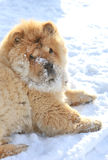 Chow Chow dog Royalty Free Stock Photography