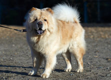 Chow-chow dog Royalty Free Stock Images