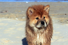 Chow Chow Dog Arkivbild