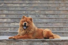 Chow Chow Dog fotografia stock libera da diritti