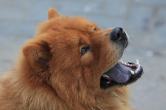 Chow Chow Dog Stockfotos