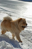 Chow-chow dog Royalty Free Stock Image