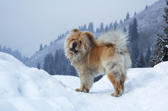 Chow-chow dog. On winter mountain Royalty Free Stock Photos