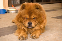 Chow Chow Dog Stock Image