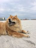 Chow Chow Dog at Beach Stock Image