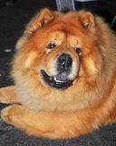 Chow Chow dog. The Chow Chow is a dog breed originally from northern China. The Chow Chow is a sturdily built dog, square in profile, with a broad skull and royalty free stock image