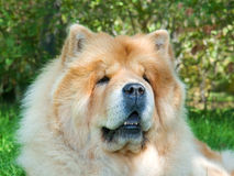 Chow-Chow dog in the city park Stock Images
