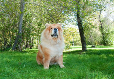 Chow-Chow dog in the city park Royalty Free Stock Images