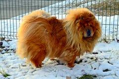 Chow Chow Dog Dina, sun and white snow Stock Photo