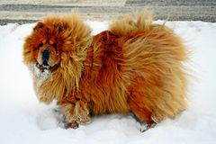 Chow Chow Dog Dina, sun and white snow Stock Images