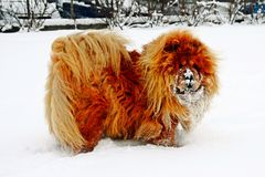 Chow Chow Dog Dina, sun and white snow Royalty Free Stock Photo