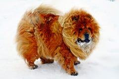 Chow Chow Dog Dina, sun and white snow Stock Photos