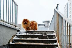 Chow Chow Dog Dina on white snow Royalty Free Stock Images