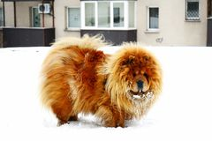 Chow Chow Dog Dina on white snow Royalty Free Stock Image