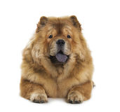 Chow-chow dog Stock Image