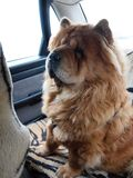 Chow chow dog globetrotter. Brown chow chow dog travelling in the auto Royalty Free Stock Images