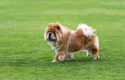Chow-chow dog on the green field Royalty Free Stock Photo