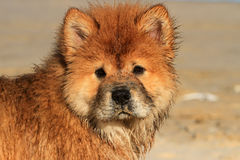 Chow Chow Dog Portrait joven Fotografía de archivo libre de regalías