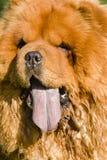 Chow Chow  dog portrait Stock Image