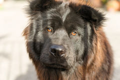 Chow Chow Dog Purebred Breed Metal port arkivfoton