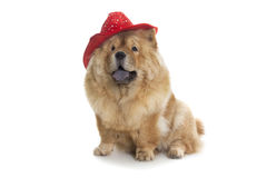 Chow-chow dog with red hat Royalty Free Stock Photography